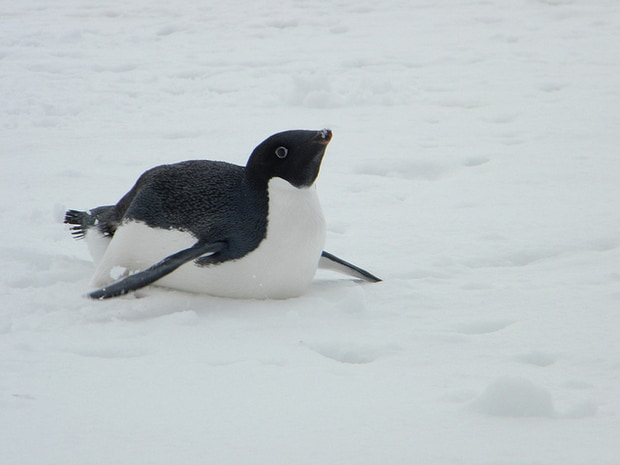 Penguin sliding on snow seen from a small ship excursion in Antarctica.