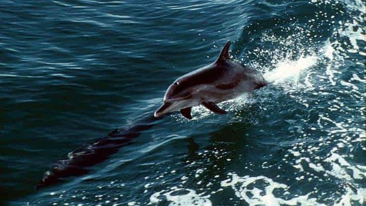 A dolphin jumps out of the water near Bocas Inn in Panama