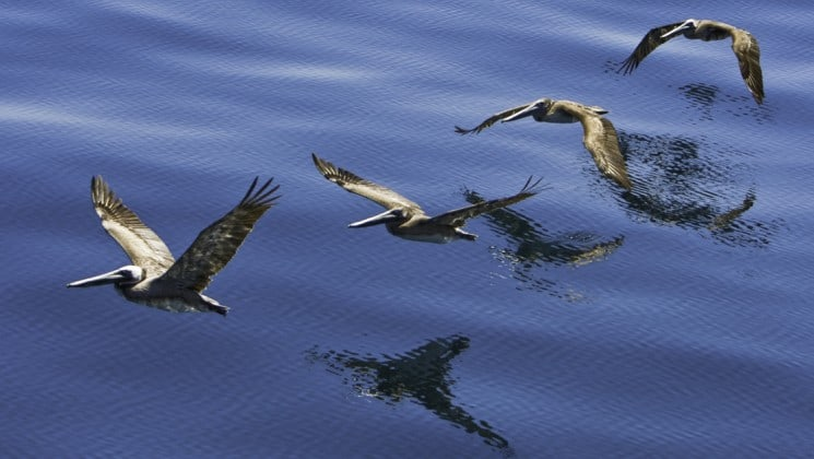 four pelicans skimming the water near whales of magdalena bay cruise in baja