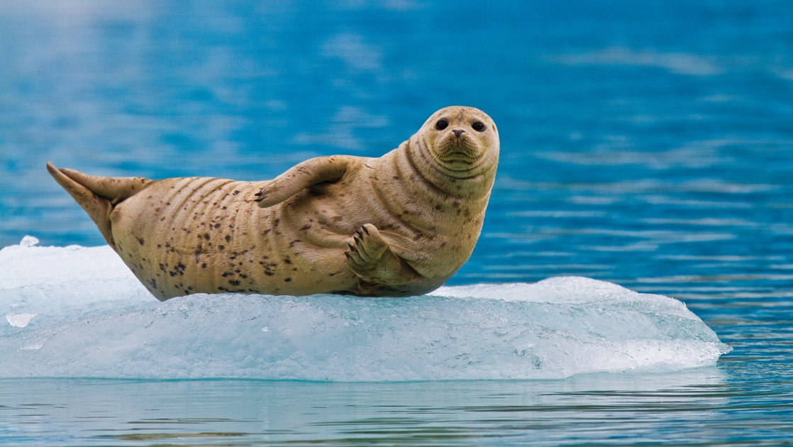 A solo seal stares straight at the camera as it lays on an ice berg floating in blue alaska waters.