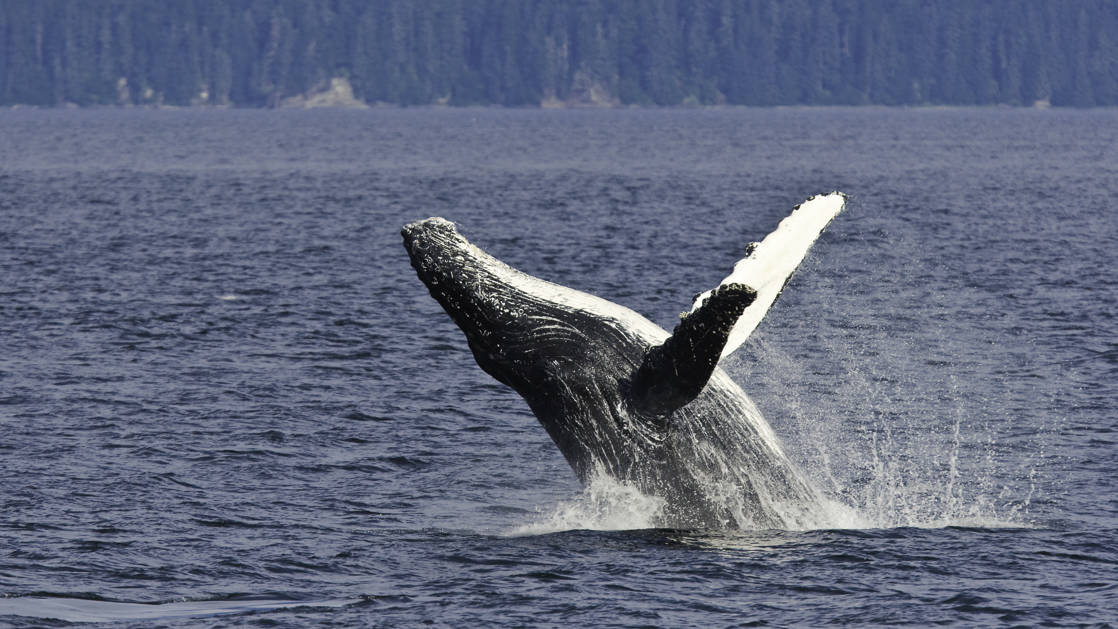 An adult humpback whale breaching in Chatham Strait in Southeast Alaska, USA, Pacific Ocean