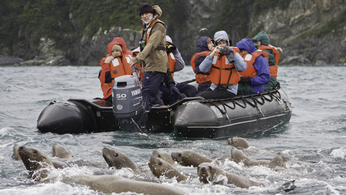 Curious sea lions swimming in front of a zodiac full of adventure travelers in Inian Pass southeastern Alaska