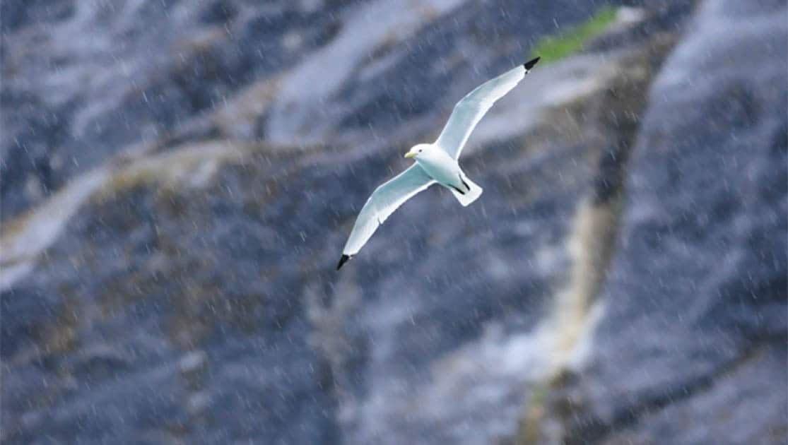 Alaskan shorebird with widespread wings flying in the rain with rocks in the background