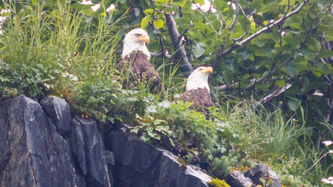 two bald eagles sitting on a rocky cliff in alaska with green foliage behind them