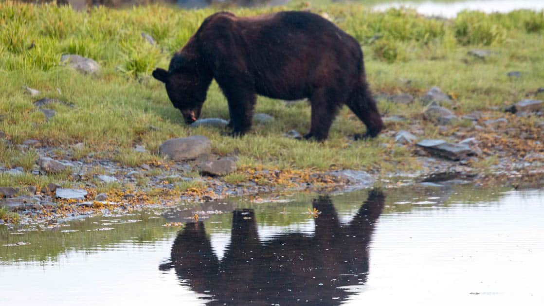 bear looking for food on the shore of glacier bay alaska