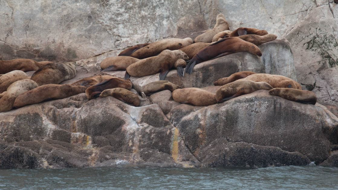 sea lions relaxing on rocks next to the water of glacier bay alaska