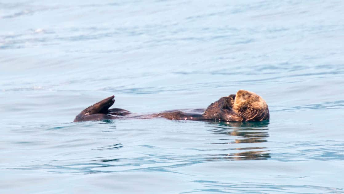 sea otter floating on its back in calm waters of glacier bay alaska