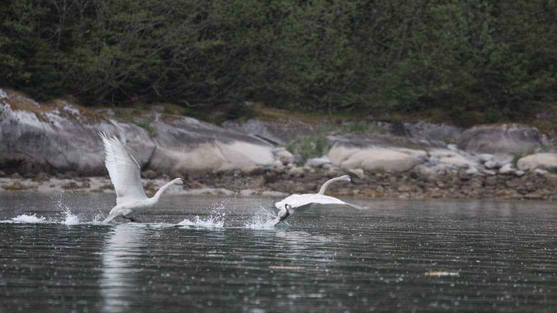 seabirds taking off from the water next to the shore in glacier bay alaska