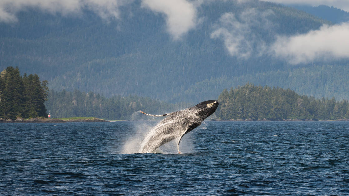 A humpback whale breach in front of a forested mountain range taken while while on Alaska's glacier and whales small ship cruise