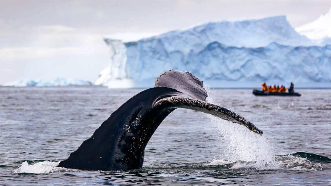 Large whale tail coming out of water with zodiac and Antarctica icebergs behind it