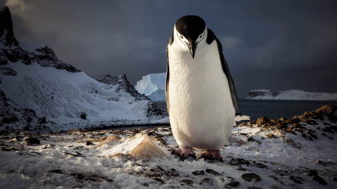 A single Chinstrap penguin walking toward the camera on snow and rocks in Antarctica