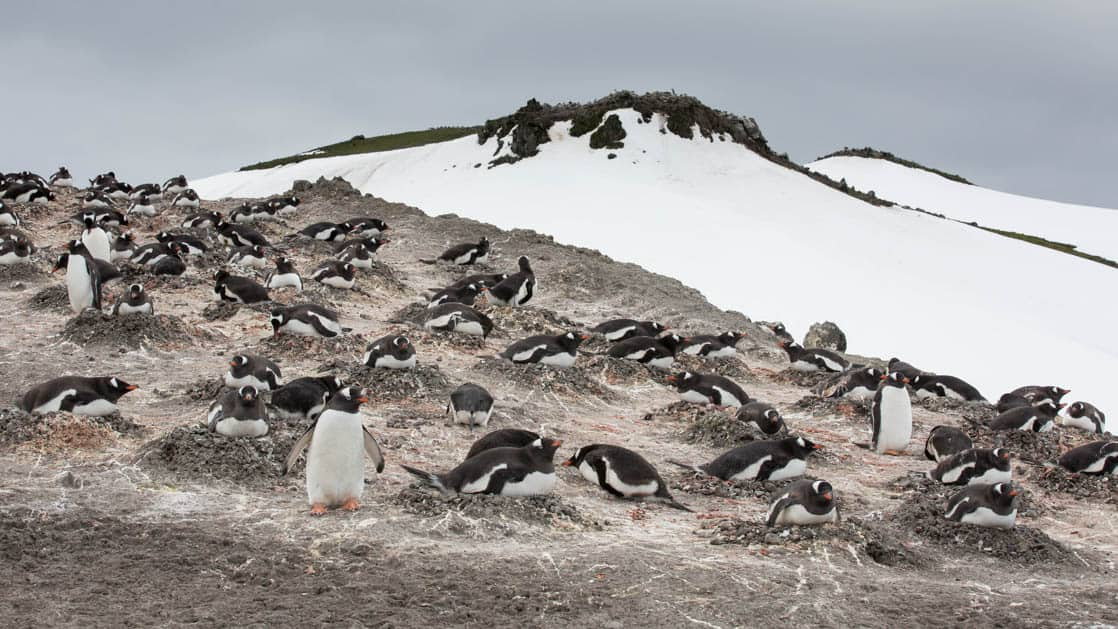 Antarctica penguin rookery showing many pairs nesting