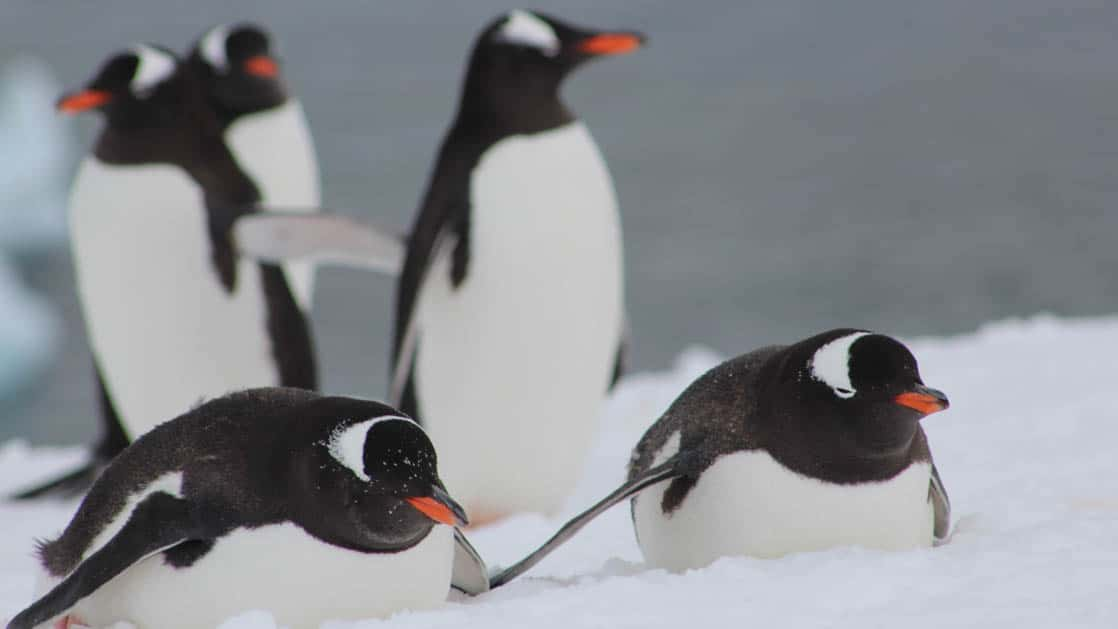 5 gentoo penguins, two on their bellies and the others standing behind them atop snow