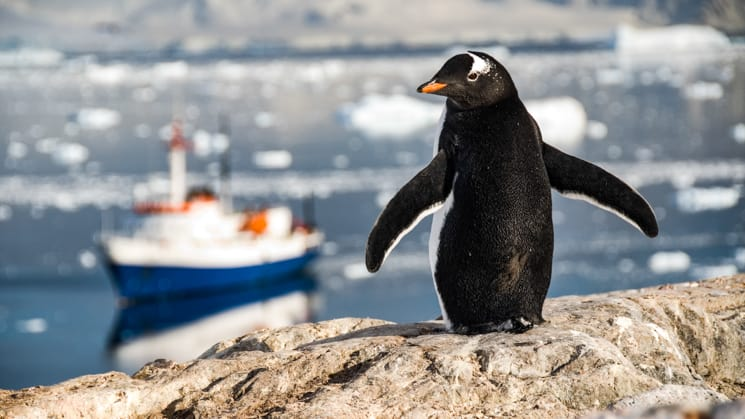 Ushuaia ship in background with gentoo penguin in foreground