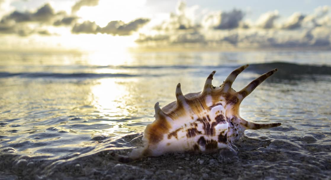a pristine sea shell in the foreground with the ocean of cape york and arnhem land australia at sunset in the background