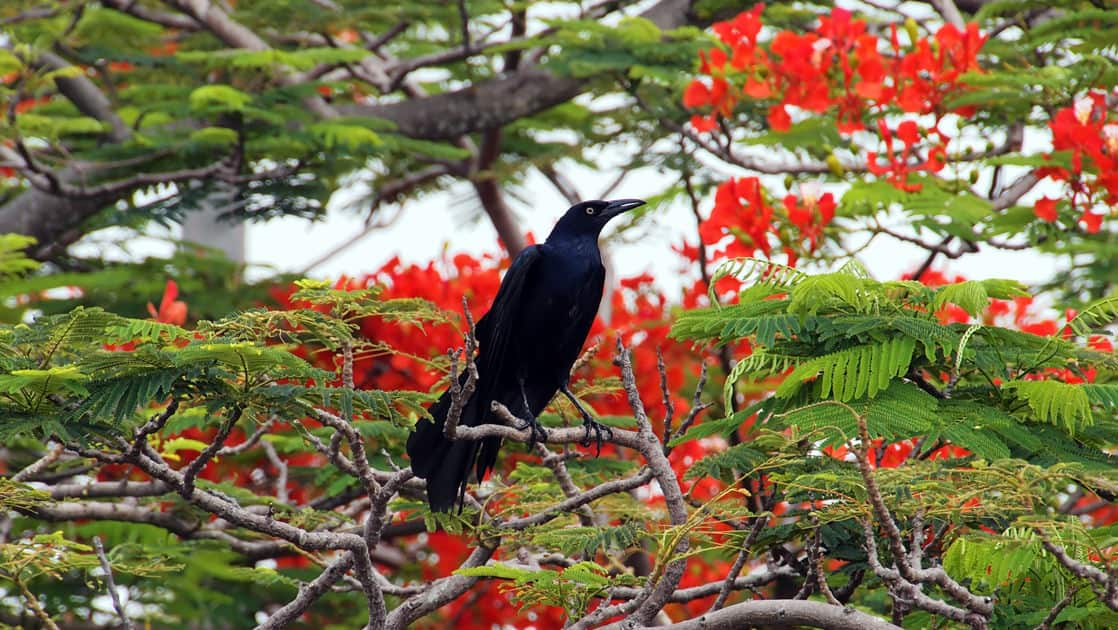 great tail grackle bird sitting in a tree with red flowers around it in a jungle in panama