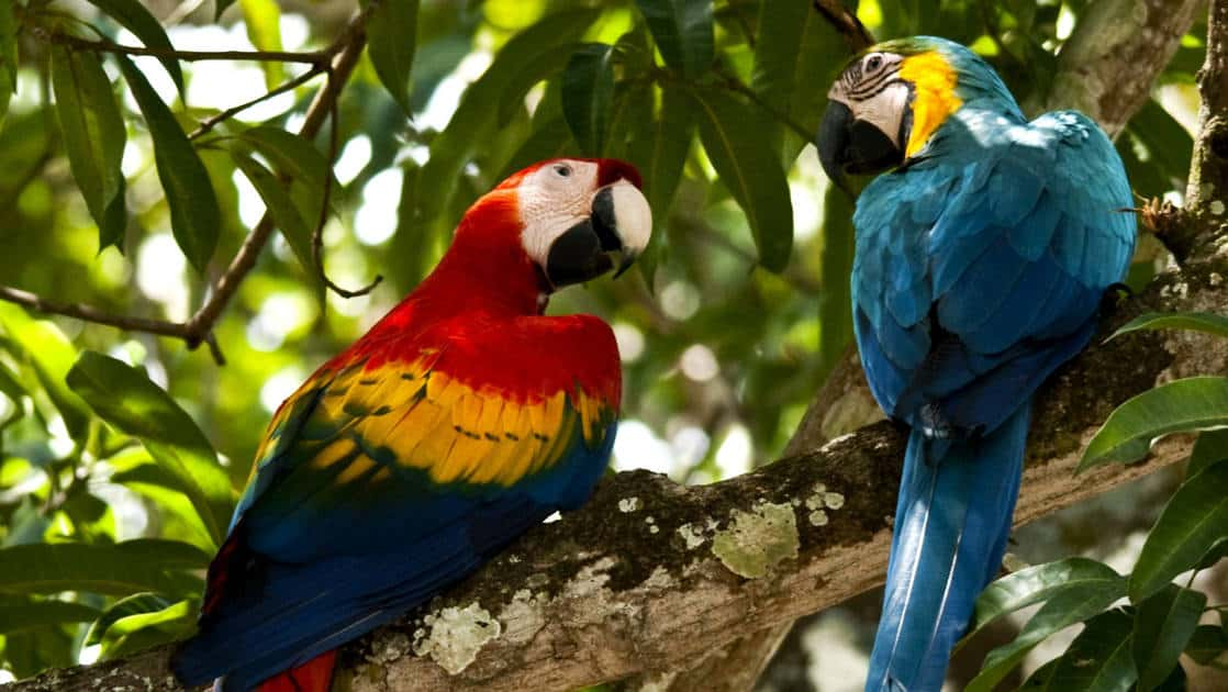 two macaw parrots in a tree in the panama jungle with green leaves behind them