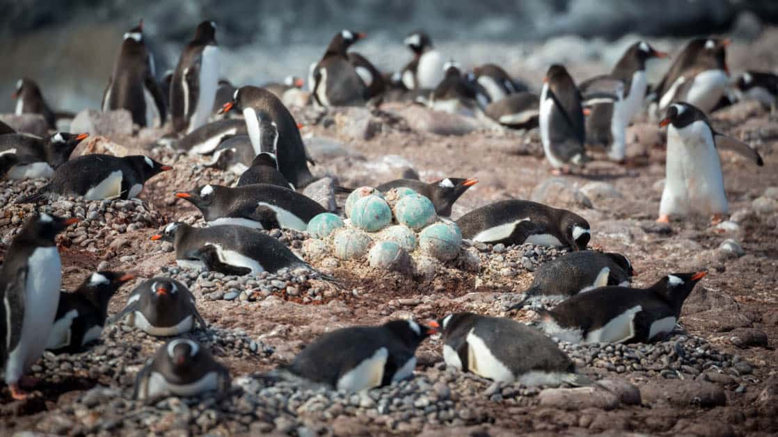 Gentoo penguin colony atop their rock nests with blue eggs buoys