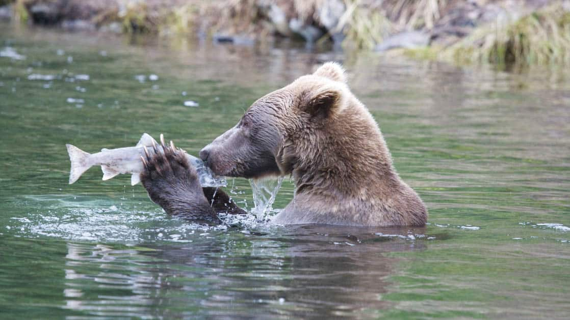alaska grizzly bear in the water of Glacier Bay holding a salmon in its paws so they are face to face