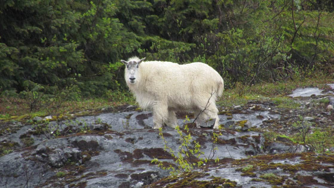 alaskan mountain goat standing on shore in glacier bay national park
