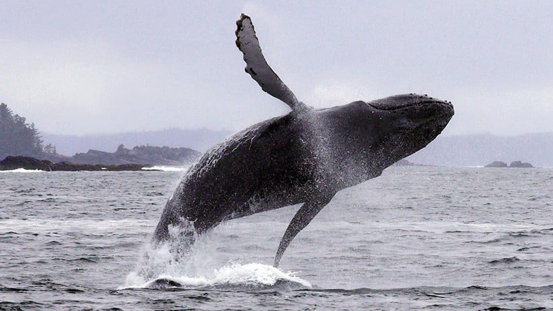 Humpback whale breaching high out of the water in Alaska