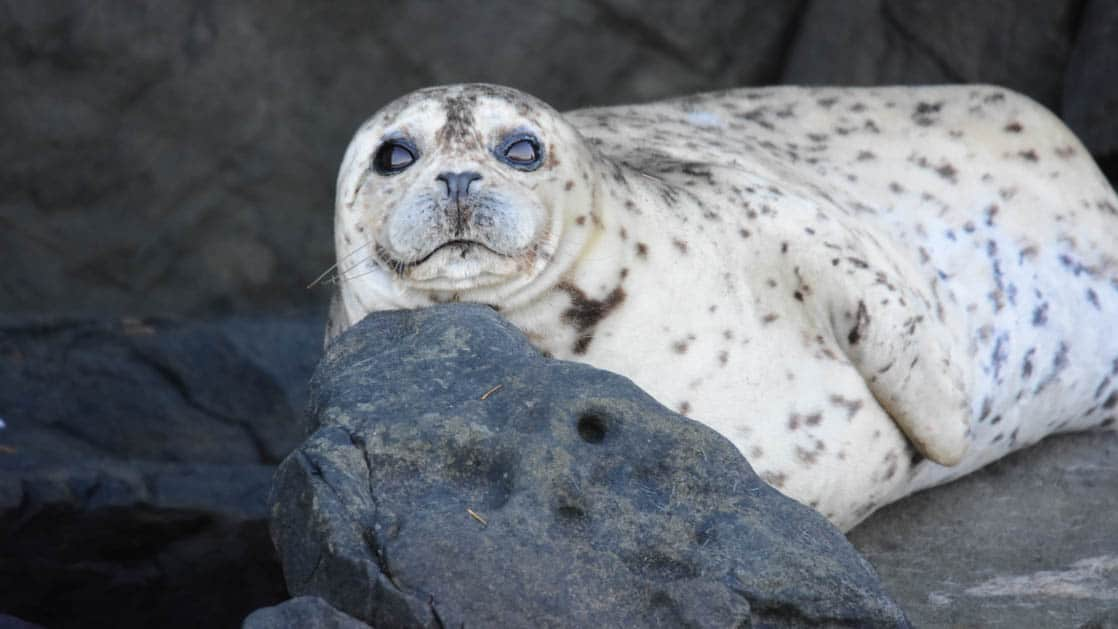 harbor seal laying in the sun in the san juan islands, pacific northwest