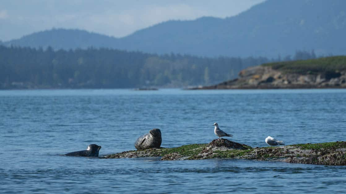 two birds and two seals rest on a rock coming out of the water in the san juan islands, pacific northwest