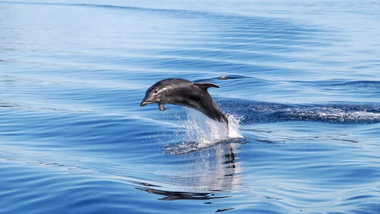 a bottlenose dolphin jumps out the water on a sunny day during the preservation inlet discovery small ship cruise