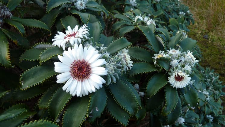 a patch of endemic new zealand plants with spiny green leaves and large white flowers