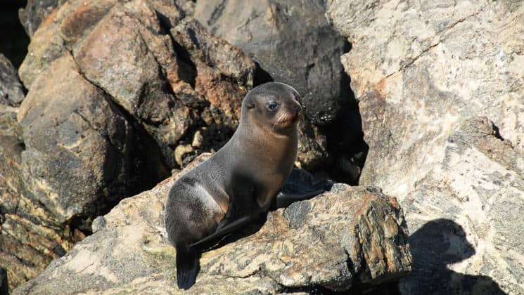 a wet new zealand fur seal squints and sits on sunny rocks