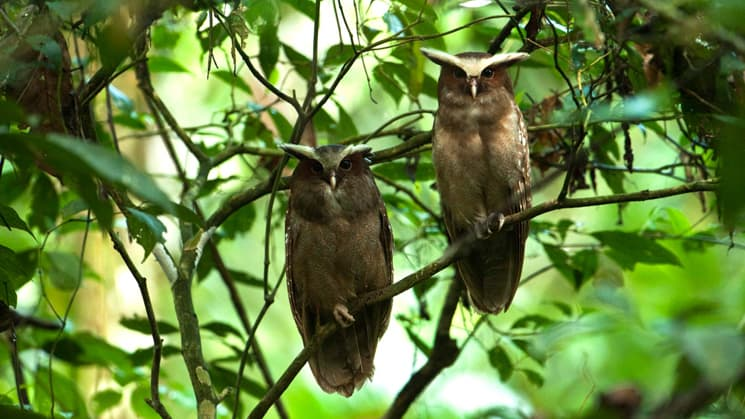 Two owls are perched on a branch in the green forest near the Sacha Jungle Lodge in the Ecuadorian Amazon, where guests can experience nature and wildlife