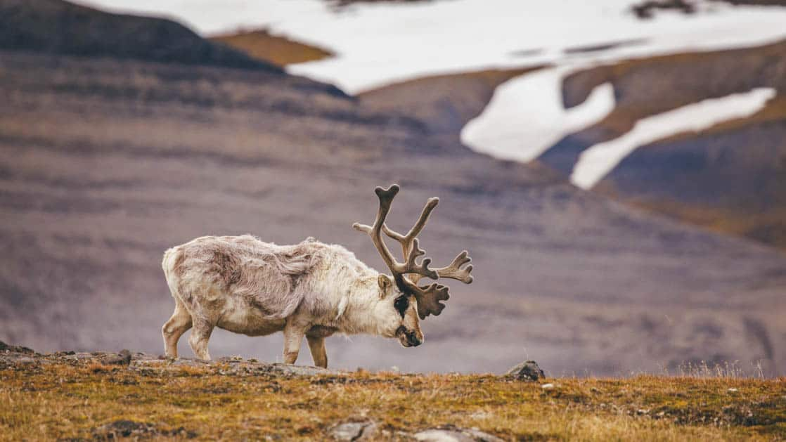 lone arctic reindeer grazing on the tundra with snowy mountains behind it