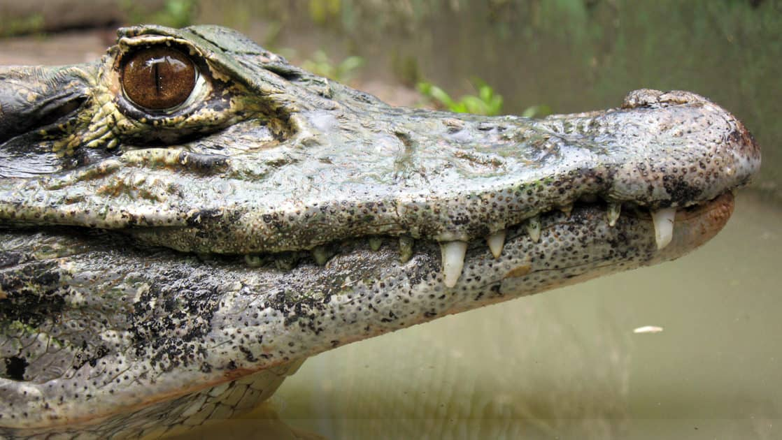 close up of a caiman in brazil