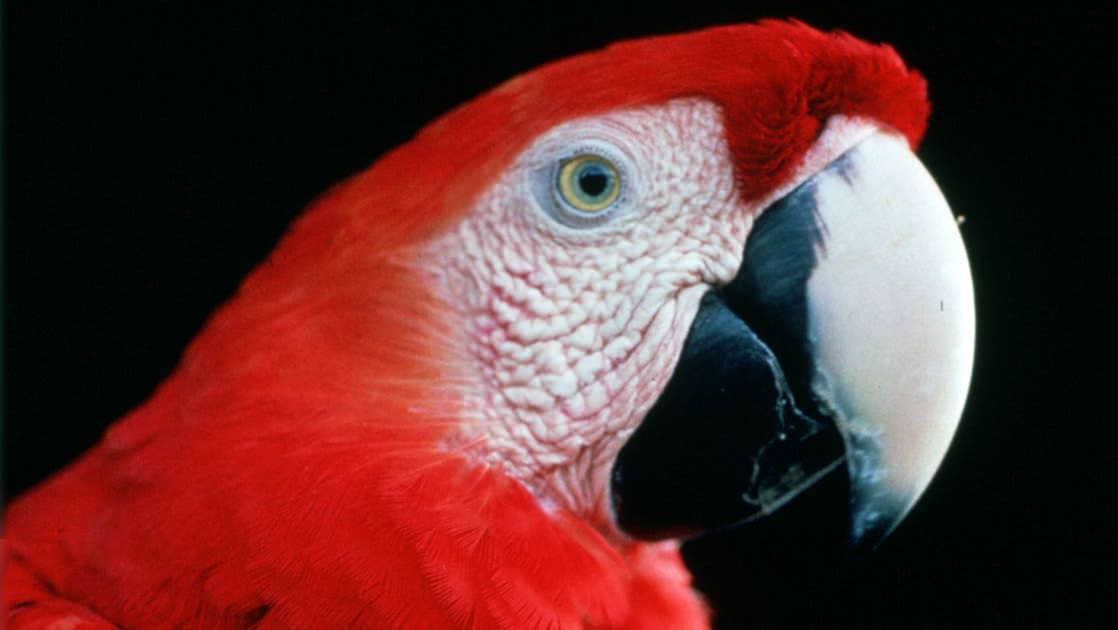 Close up of a red macaw's face in brazil