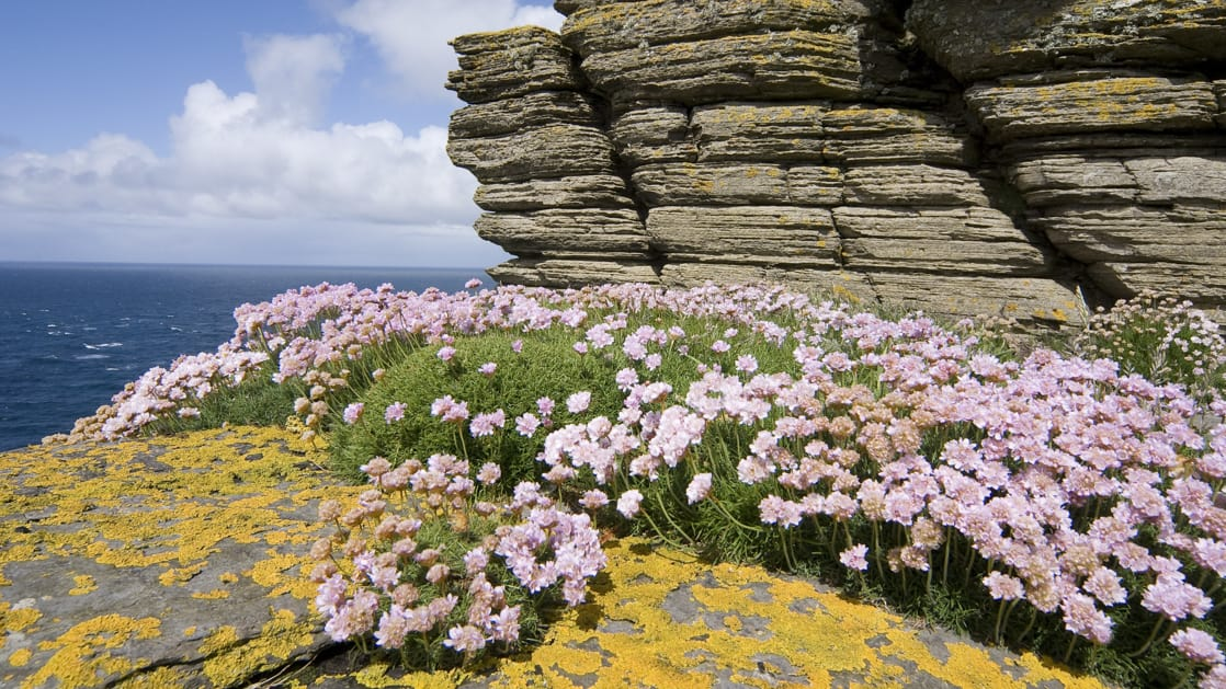 Westray Noup Head cliffs with purple and yellow flowers in Scotland