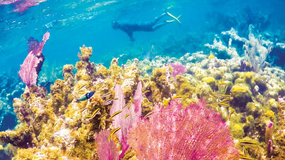 Underwater show of person Snorkeling behind bright purple coral on Caye, Lighthouse Reef in belize