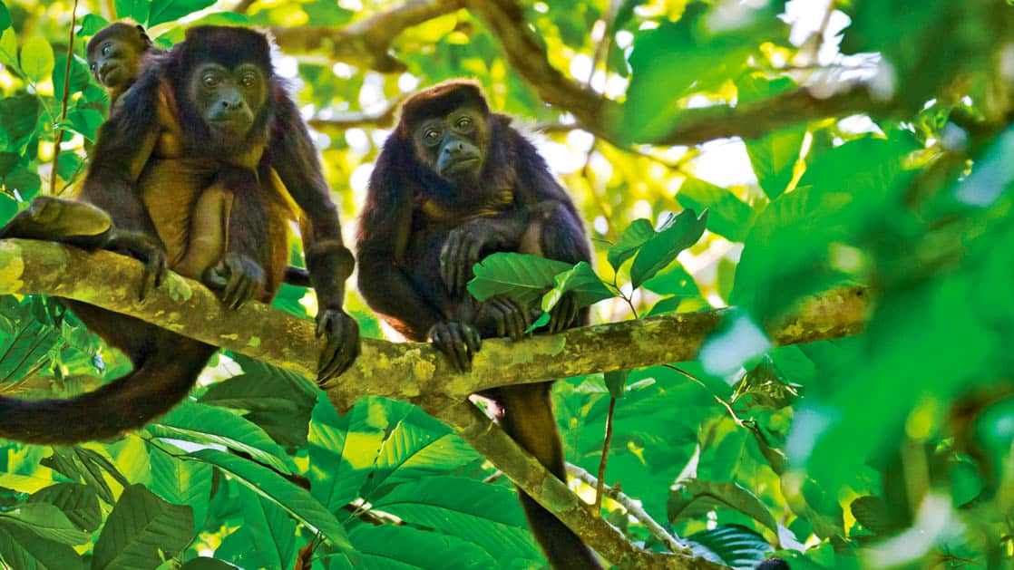 Golden-mantled howler Monkey family sitting together on a tree branch in belize