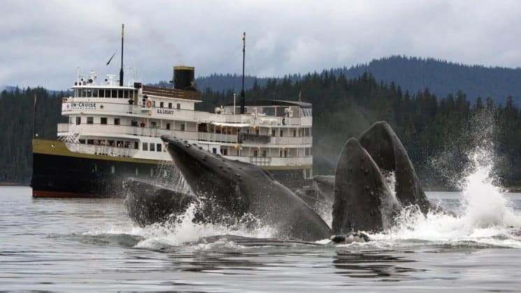 Two whales breaching in front of the Wilderness Legacy expedition ship