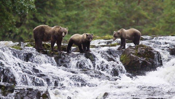 group of brown bears standing above a waterfall in alaska