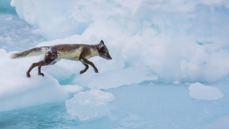 arctic fox jumping from one piece of ice to another