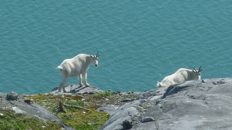 Two mountain goats climbing on rocks near the water in Alaska.
