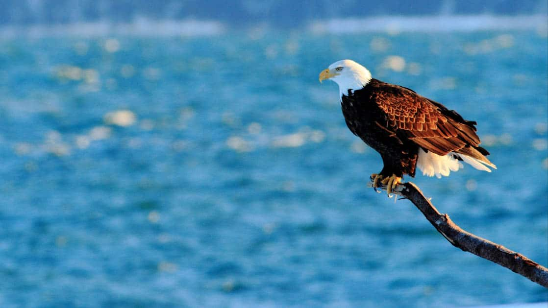 Bald eagle perched on a tree limb with blue Alaska water behind.
