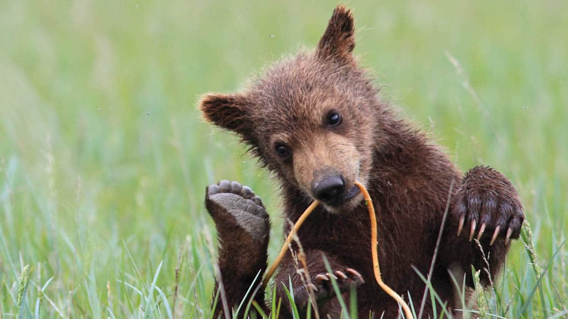 Grizzly bear cub laying in the green grass and playing with a tree limb in it's mouth.