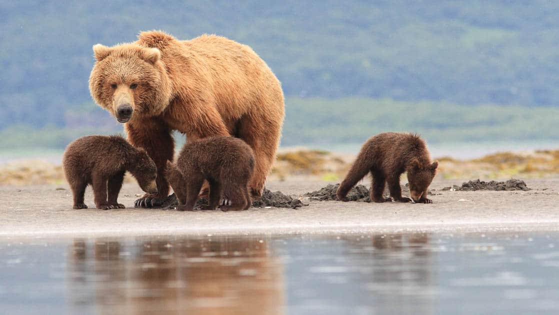 Coastal grizzly bear with her three cubs close by along the river in Alaska.