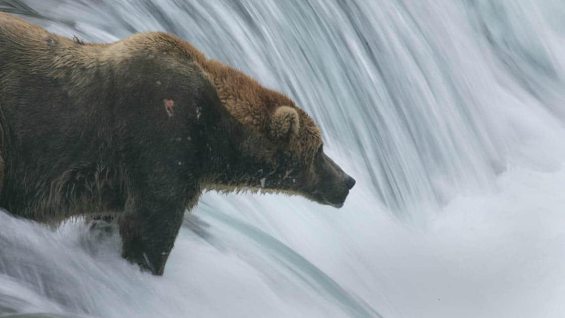 Grizzly bear fishing in the waterfall of a river in Alaska