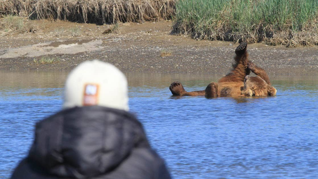 A grizzly bear taking a bath in the river on its back as a small ship cruise passenger watches from shore