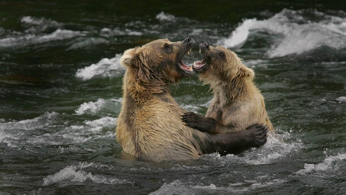 Two grizzly bears fighting in the river in Alaska