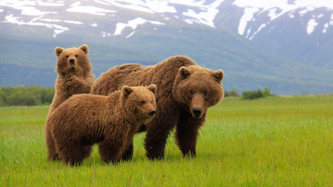 Grizzly bear with her two big cubs in the green grass with snowy hills behind them in Alaska