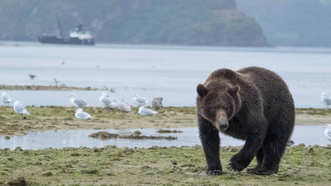 Coastal grizzly bear walking along the water in Alaska with the Ursus small ship in the background.