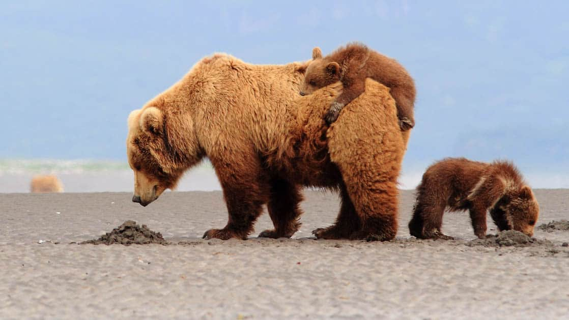Grizzly bear with one cub climbing on top of her back while another cub walks in the opposite direction